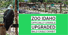 Valkyrie, Zoo Idaho's resident bald eagle and the new bald eagle exhibit.