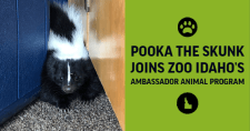 Pooka the Skunk
